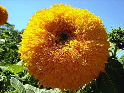 Photograph - Sunflower At Kendall Jackson Wine Estates by Kelly Manning