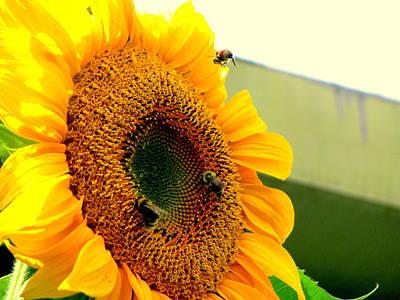 Sunflower Bees Art Print by Amy Bradley