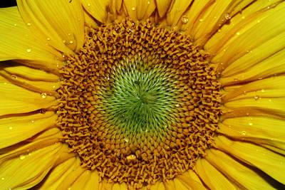 Photograph - Sunflower by Benjamin Dahl