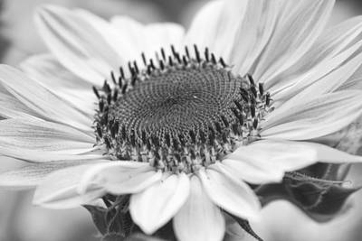 Photograph - Sunflower Bloom Black And White by James BO Insogna