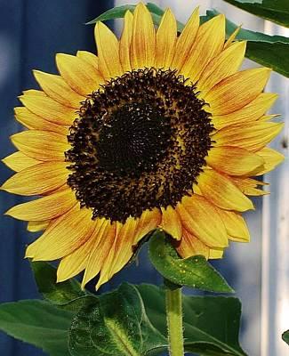 Sunflower Art Print by Bruce Bley