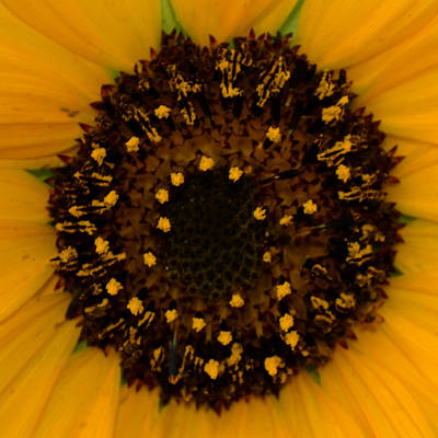 Sunflower Burst Art Print by Dakota Light Photography By Dakota