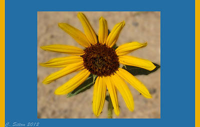 Photograph - Sunflower by C Sitton