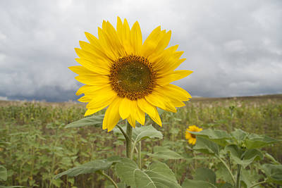 Lesotho Photograph - Sunflower by Carmel  S