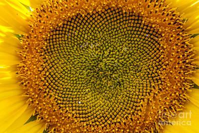 Sunflower Center Art Print by Darleen Stry