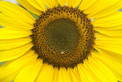 Photograph - Sunflower Center by James BO Insogna