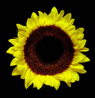 Photograph - Sunflower. by Chris  Kusik