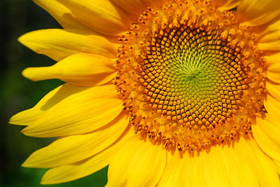 Photograph - Sunflower by Craig Leaper