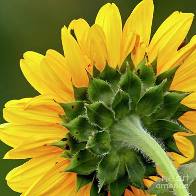 Photograph - Sunflower D005727a by Daniel Dempster