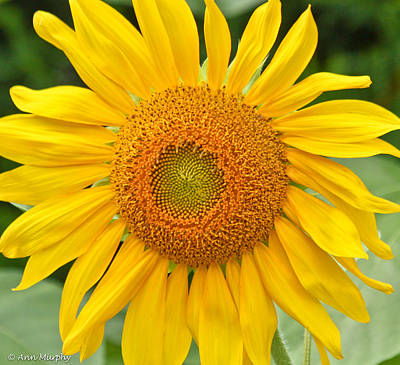 Photograph - Sunflower Days by Ann Murphy
