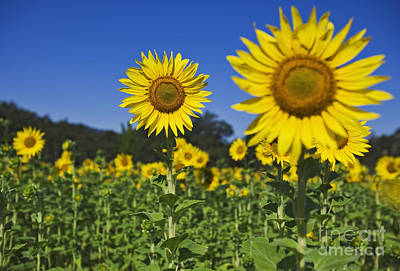 Sunflower Art Print by Dennis Flaherty and Photo Researchers