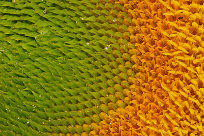 Photograph - Sunflower Detail by Jean Noren