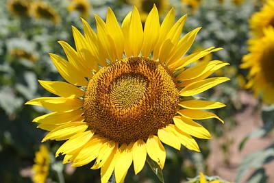 Art Print featuring the photograph Sunflower by Donna  Smith