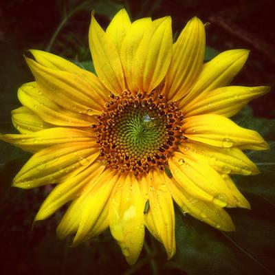 Photograph - Sunflower Dream by Gene Hilton