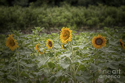 Print featuring the photograph Sunflower Driveby by Vicki DeVico