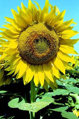 Photograph - Sunflower by Emanuel Tanjala
