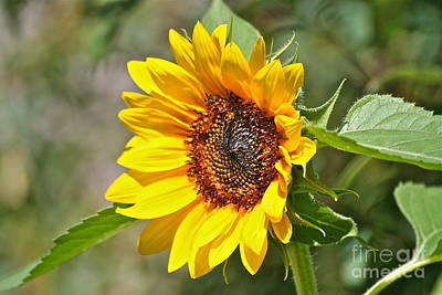 Art Print featuring the photograph Sunflower by Eve Spring