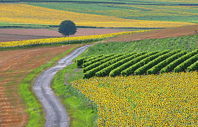 Sunflower Field And Road Art Print