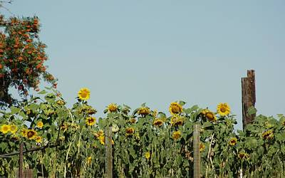 Photograph - Sunflower Field by Angi Parks