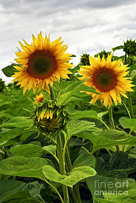 Sunflowers Royalty Free Images - Sunflower field Royalty-Free Image by Elena Elisseeva
