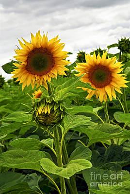 Photograph - Sunflower Field by Elena Elisseeva