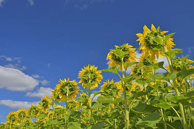 Y120817 Photograph - Sunflower Field by Raimund Linke