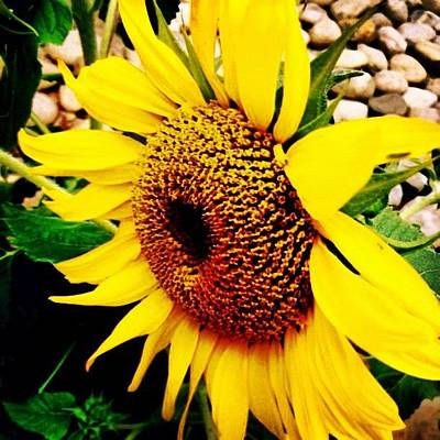Summer Wall Art - Photograph - #sunflower #flower #sun #yellow #green by Katie Williams