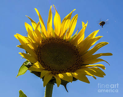 Flower Photograph - Sunflower For Snack by Darleen Stry