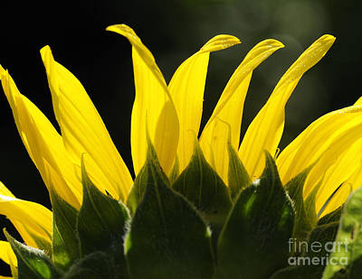 Photograph - Sunflower Greeting The Morning by Nancy Greenland