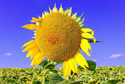 Sunflower Head Original