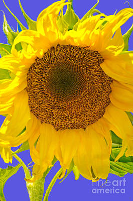 Photograph - Sunflower I by Donna Greene