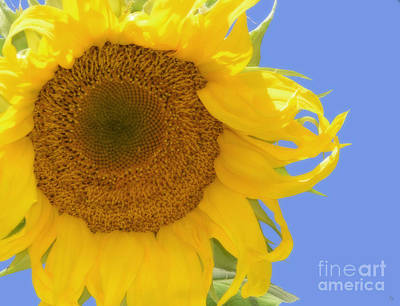 Photograph - Sunflower II by Donna Greene