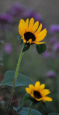 Photograph - Sunflower In A Field by Amee Cave