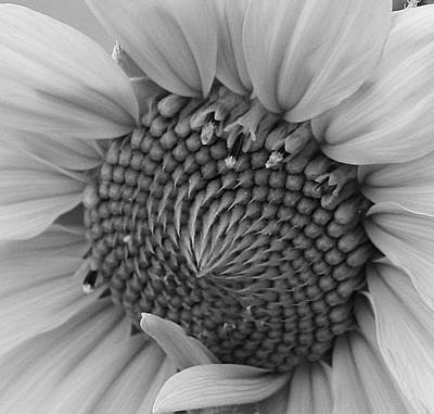 Photograph - Sunflower In Black And White by Bruce Bley