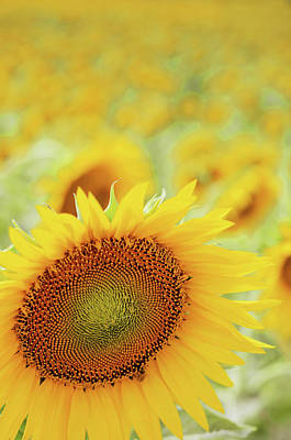 Sunflower In Field Art Print by Dhmig Photography