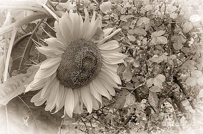 Print featuring the photograph Sunflower In Sepia by Vicki DeVico