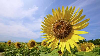 Sunflower In Summer Bloom Art Print by Moonie's World