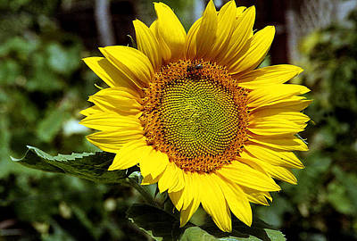 Photograph - Sunflower In The Garden by Emanuel Tanjala