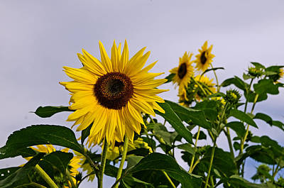 Sunflower In The Setting Sun Art Print by Richard Bramante