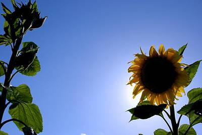 Photograph - Sunflower In The Sun by Eric Tressler