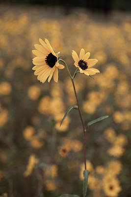 Photograph - Sunflower In The Wild by Scott Sawyer