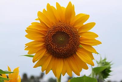 Photograph - Sunflower by Jeanne Andrews