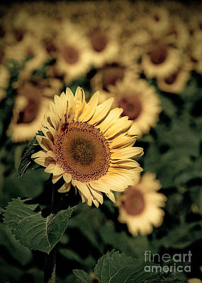 Sunflowers Royalty-Free and Rights-Managed Images - Sunflower by Ken Marsh