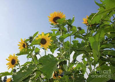 Photograph - Sunflower Landscape by Donna L Munro