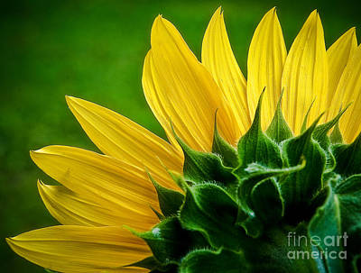Photograph - Sunflower by Larry Carr