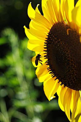 Photograph - Sunflower by Masha Batkova