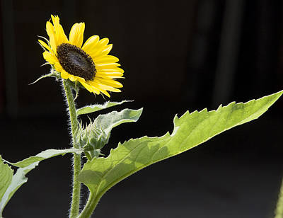 Photograph - Sunflower by Michael Friedman