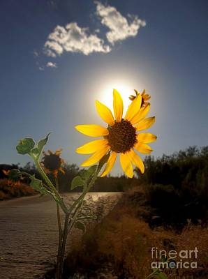 Photograph - Sunflower by Mistys DesertSerenity