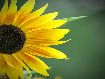 Sunflower Morning Art Print by Bill Cannon