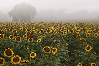 Sunflower Morning Ll Print by Rob Travis